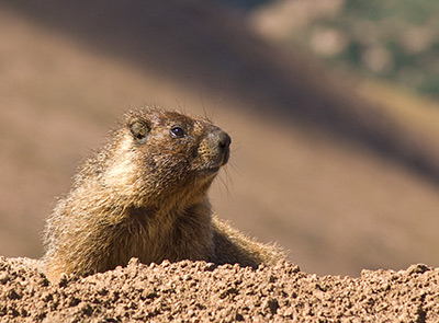 A Yellow-Bellied Marmot on Pikes Peak